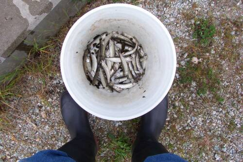 Dead coho smolts in bucket