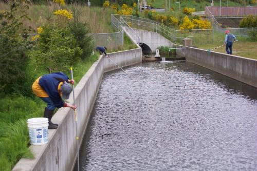 Streamkeepers net dead coho smolts from settling pond